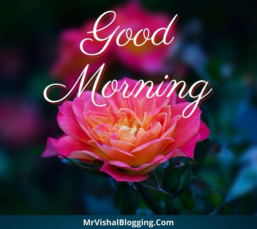 good morning rose flower images download
