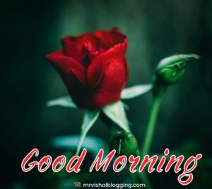 red rose good morning photos download