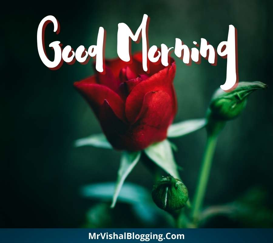 good morning rose pictures download
