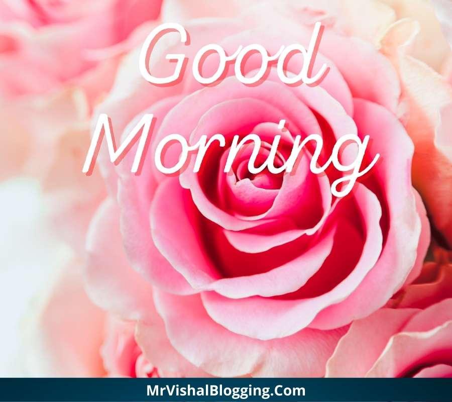 good morning pink rose images download