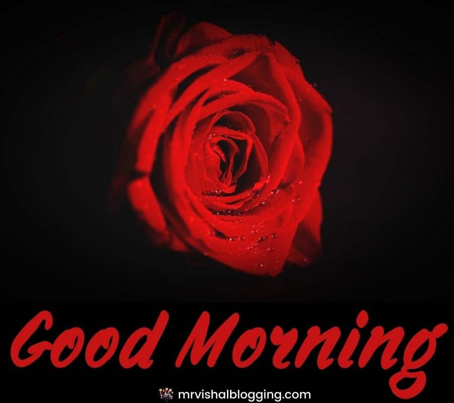 good morning red rose HD wallpaper